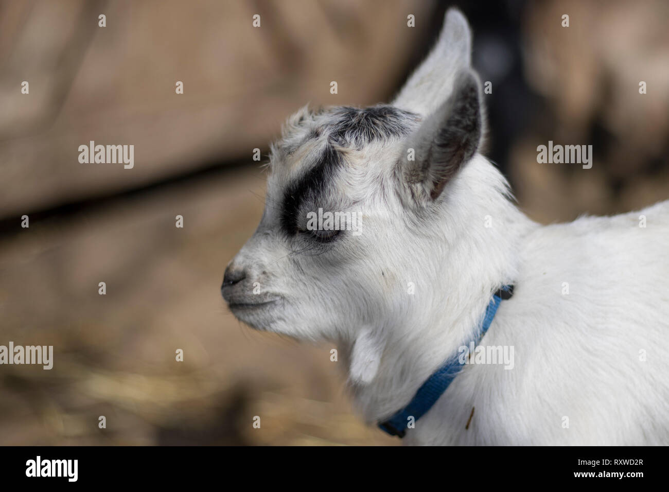 Small Pygmy goat close up. Petting zoo sanctuary with rescue animals. Cute animals close up. White and black goat. - Stock Image