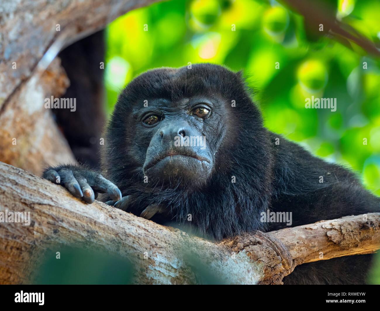 Howler monkey Alouatta caraya Costa Rica February - Stock Image