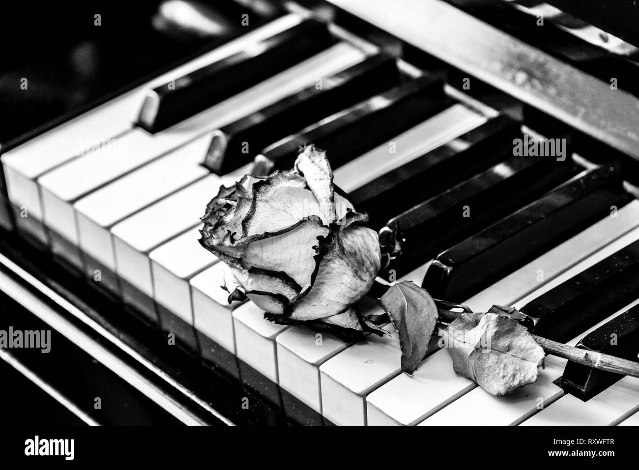 Black and white piano keys with dry rose concept for love of music for the composer musical inspiration