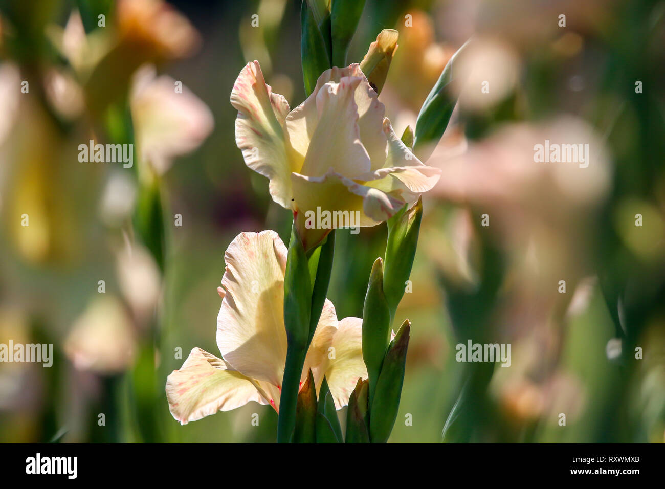 Gentle pink gladiolus flowers blooming in beautiful garden. Gladiolus is plant of the iris family, with sword-shaped leaves and spikes of brightly col - Stock Image