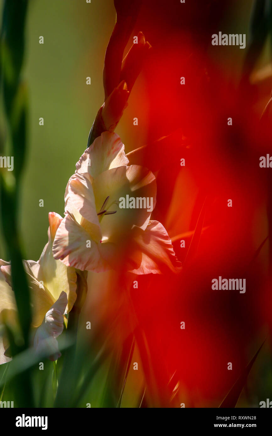 Red and gentle pink gladiolus flowers blooming in beautiful garden. Gladiolus is plant of the iris family, with sword-shaped leaves and spikes of brig - Stock Image