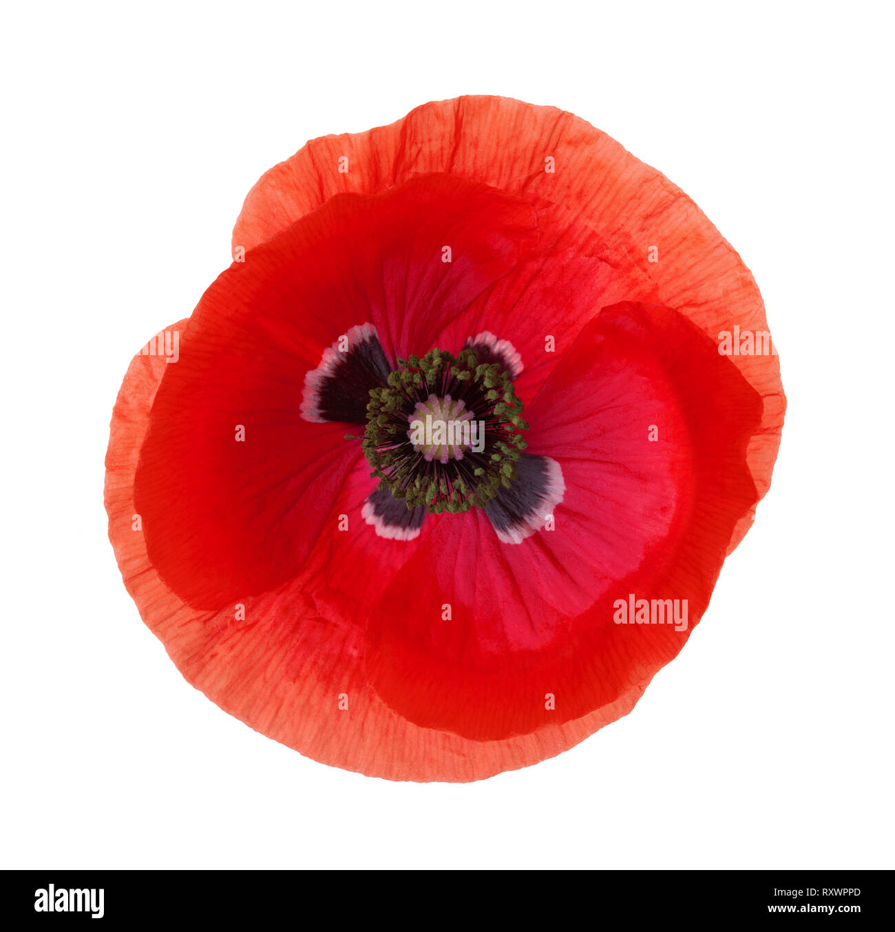 Red Poppy flower isolated on white background. - Stock Image