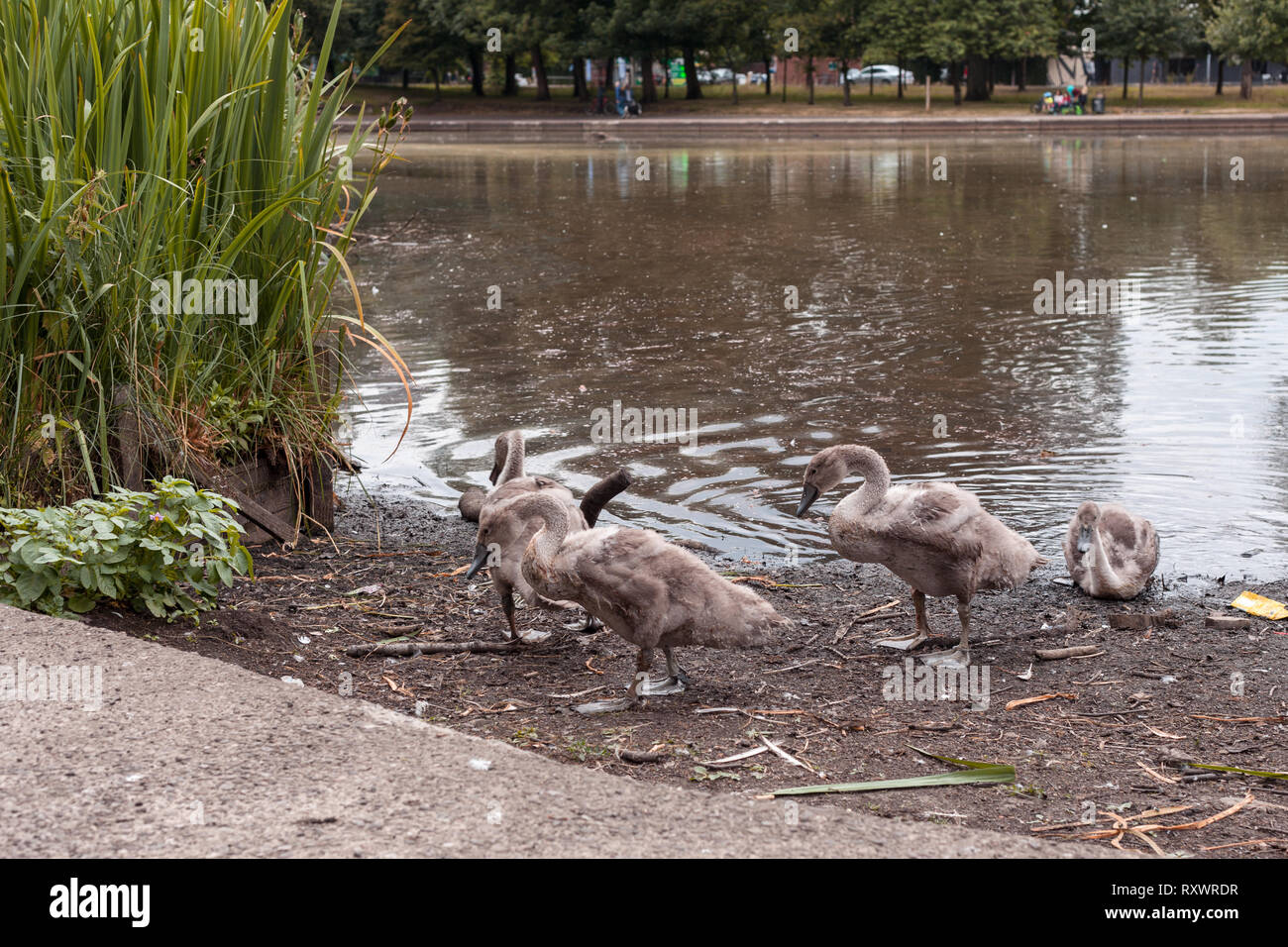 Swan Leads young Cygnets to another pond at night Stock Photo