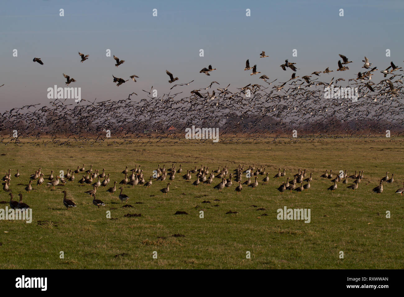 Large flock of geese, mainly White-Fronted, Anser albifrons taking off from field. East Frisia. Lower Saxony. Germany. - Stock Image