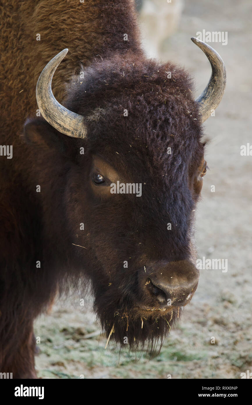 Plains bison (Bison bison bison), also known as the prarie bison. Stock Photo