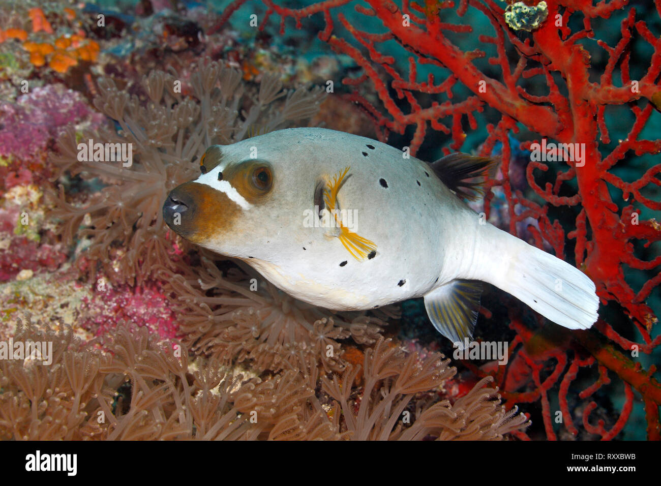 Blackspotted Puffer, also known as the Dog-faced Puffer, Arothron nigropunctatus, swimming with soft corals and red sea fans. Uepi, Solomon Islands - Stock Image