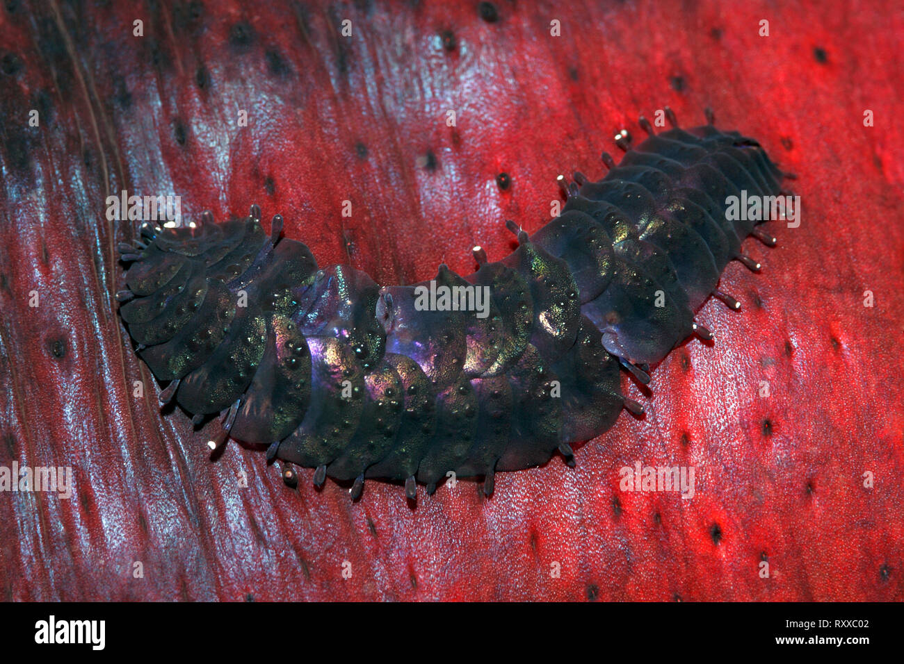 Sea Cucumber Scale Worm, Gastrolepidia clavigera, crawling on its host holothurian, the black sea cucumber, Holothuria atra. Uepi, Solomon Islands. So - Stock Image