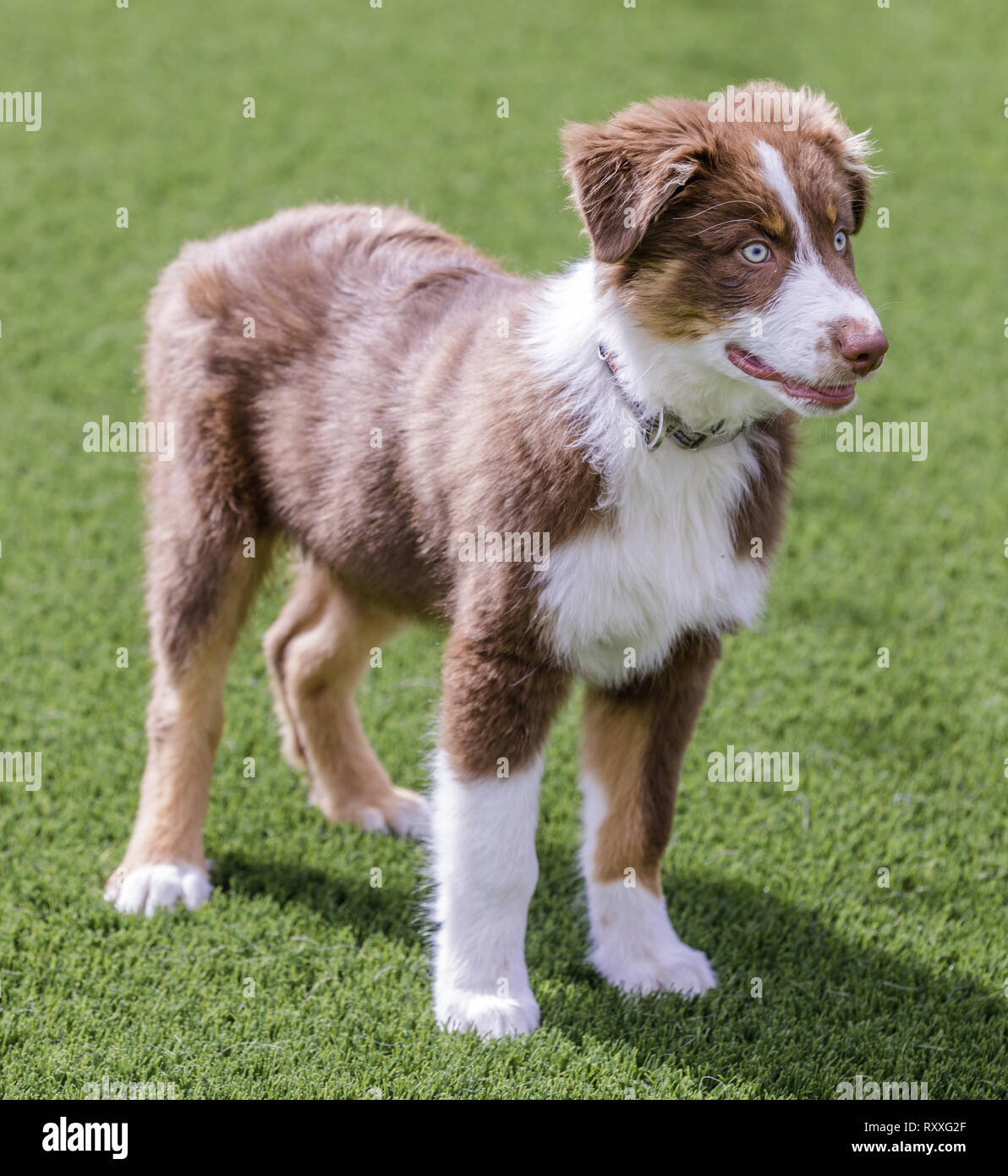 Red Tri Australian Shepherd Puppy. - Stock Image