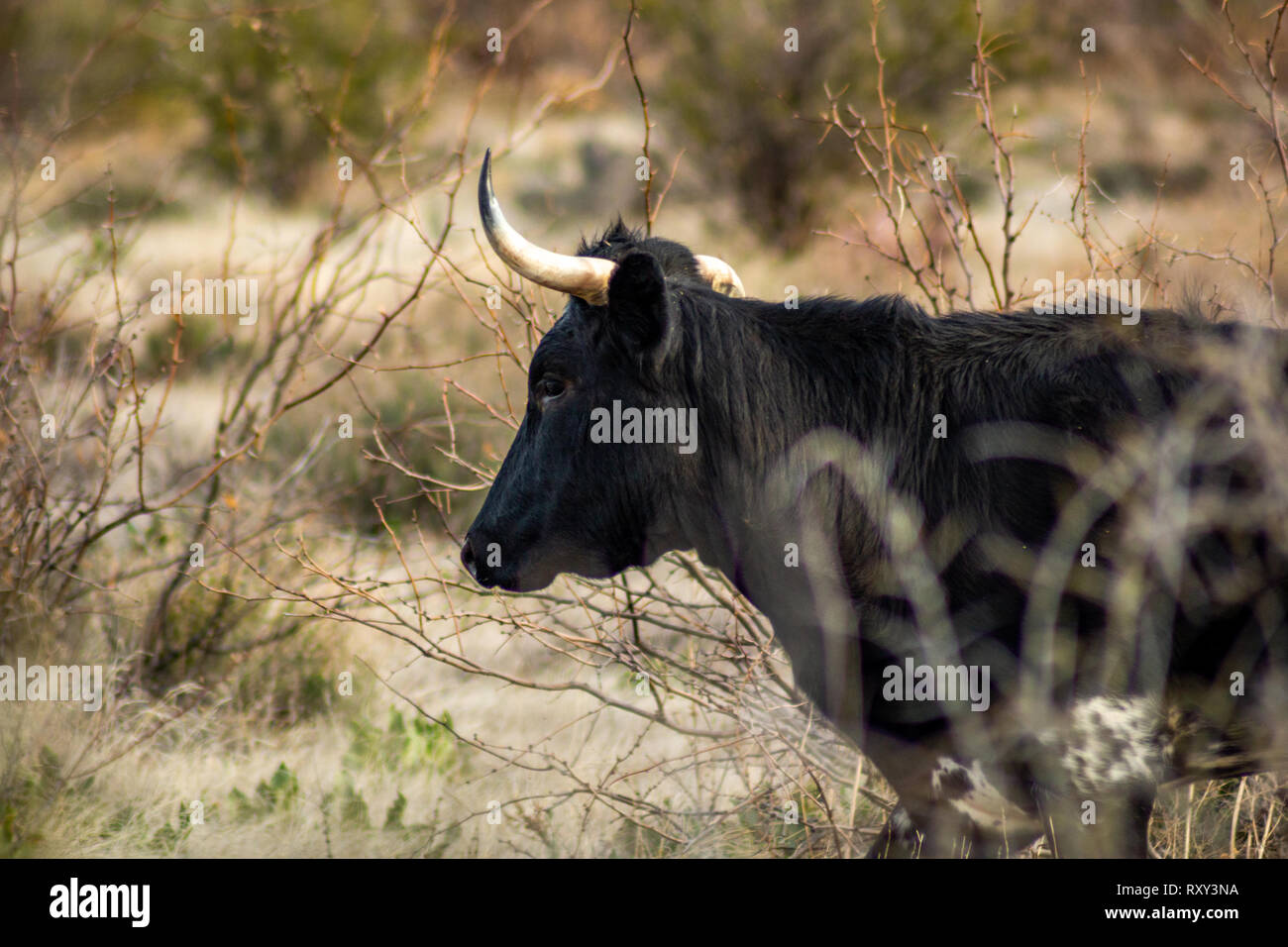 Cow with crooked horns standing in desert brush. - Stock Image