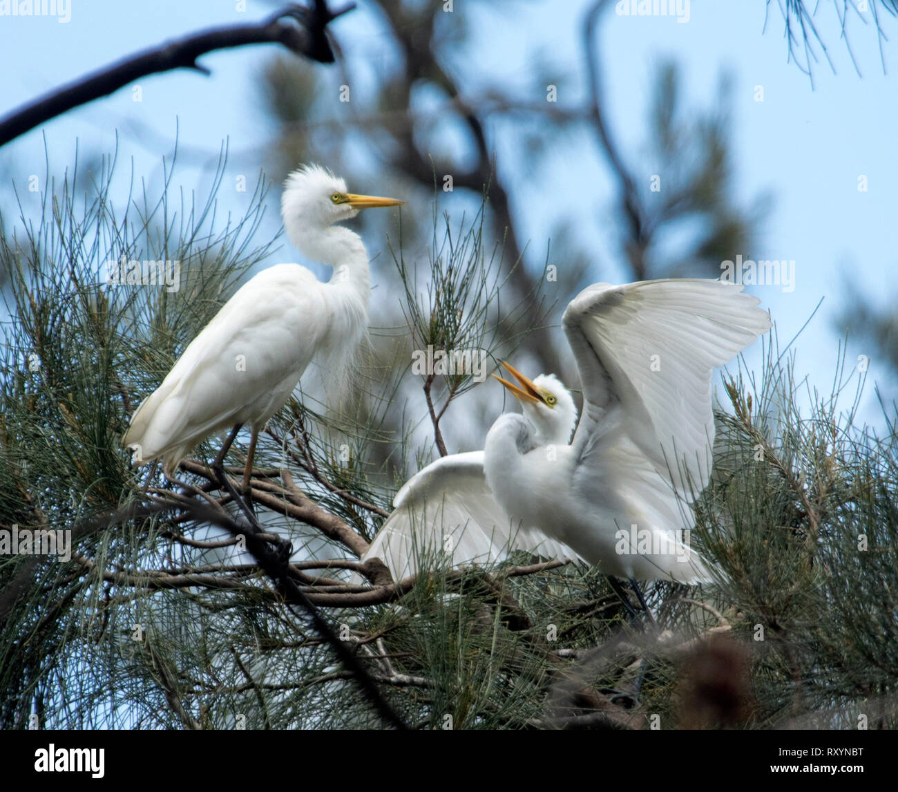 Australian plumed / intermediate egret, Ardea intermedia with fledgling / chick with wings outstretched among foliage of trees and against blue sky - Stock Image