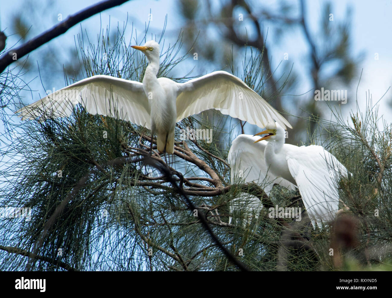 Australian plumed / intermediate egret, Ardea intermedia, wings outstretched with fledgling / chick among foliage of trees begging for food - Stock Image