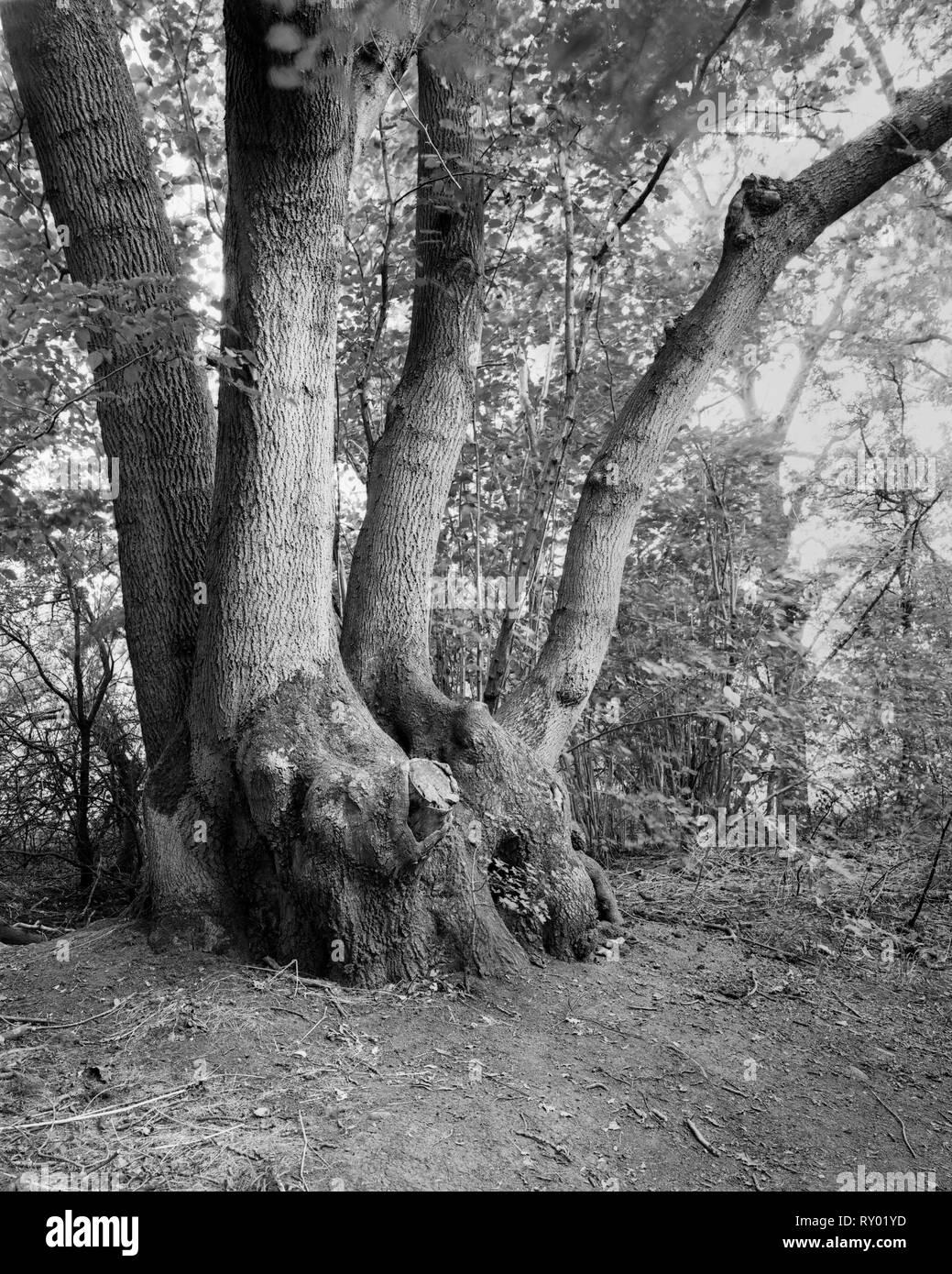 450 year-old coppiced ash tree in Gamlingay Wood Cambnidgeshire England - Stock Image