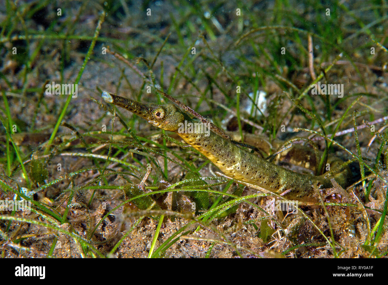 Short-tailed Pipefish or Double-ended Pipefish (Trachyrhamphus bicoarctatus) between sea grass, Negros, Visayas, Philippines - Stock Image