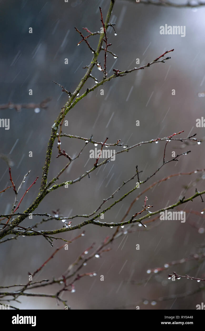 Drops of water on the tips of the branches of the bush on the background of the spring rain - Stock Image