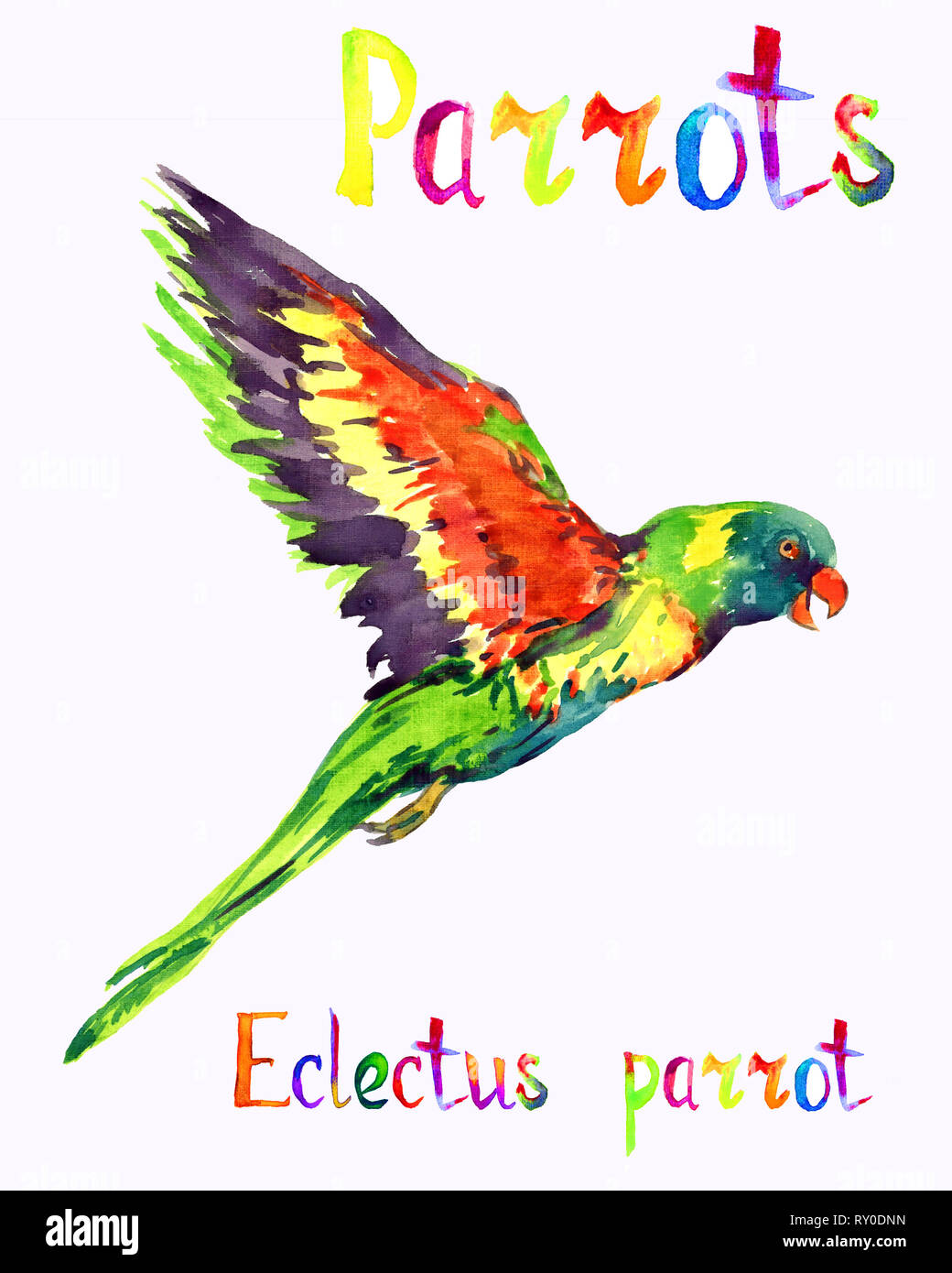 Eclectus parrot (Eclectus roratus) male parrot, isolated hand painted watercolor illustration with handwritten inscription Stock Photo