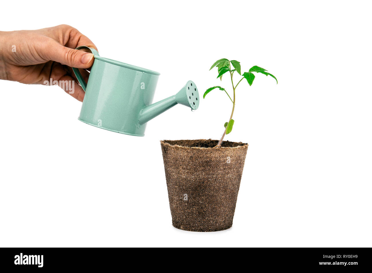 plant of tomato with hand and watering can isolated on white - Stock Image