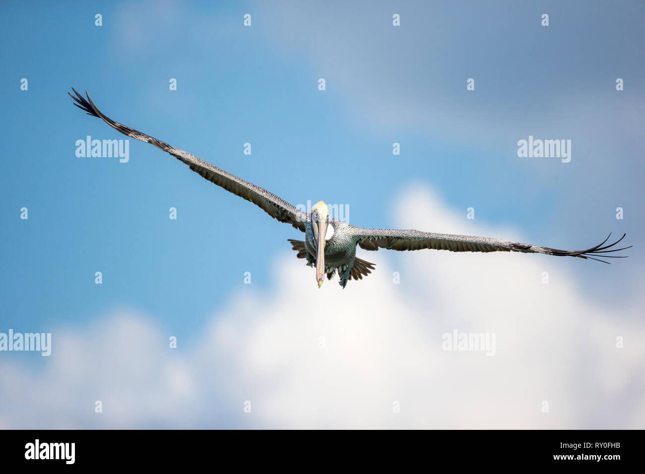 Ein Pelikan fliegt mit ausbreiteten Fluegeln bei THEMENBILD Florida, 06.02.2017 Bildnachweis: Mario Hommes / HH-Photography Stock Photo