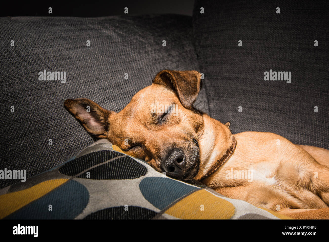 Young brown dog sleeping on a sofa - cute pet photography - rescue dog relaxed in the house - Stock Image