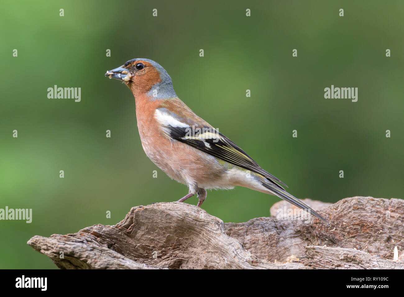Male Common Chaffinch, Lower Saxony, Germany, (Fringilla coelebs) - Stock Image