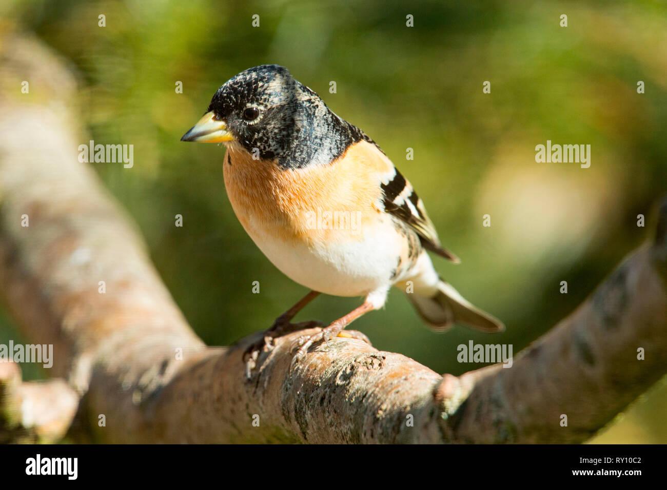 brambling, (Fringilla montifringilla) - Stock Image