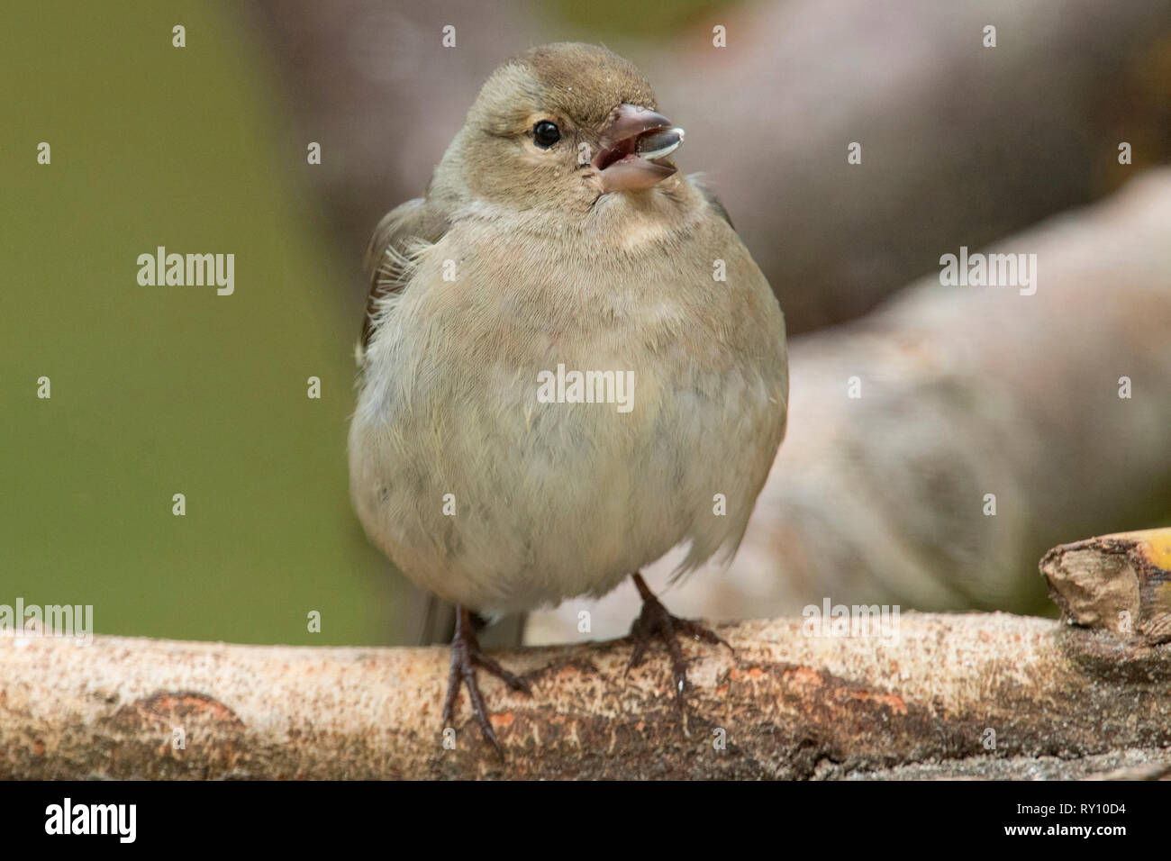 common chaffinch, female, (Fringilla coelebs) Stock Photo