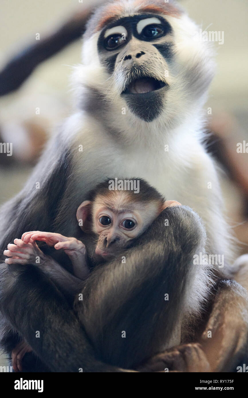 Tierpark Berlin, Germany. 08th Mar, 2019. A collar tag eats and has a kitten with it. The offspring was born on 19 January 2019 in Tierpark Berlin. Credit: Annette Riedl/dpa-Zentralbild/ZB/dpa/Alamy Live News - Stock Image