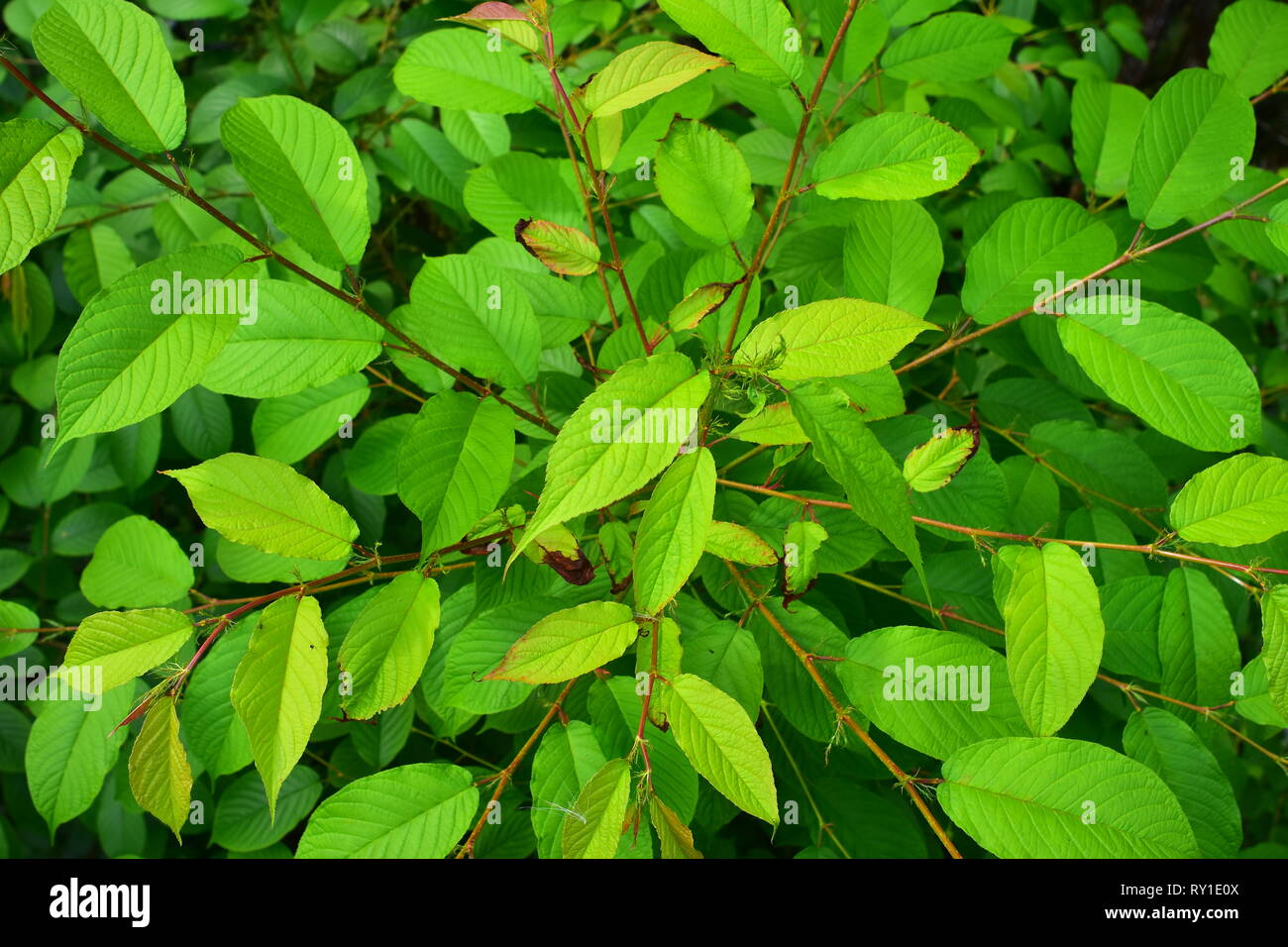 Bright saturated green bush leaves  with simple pinnate venation. - Stock Image