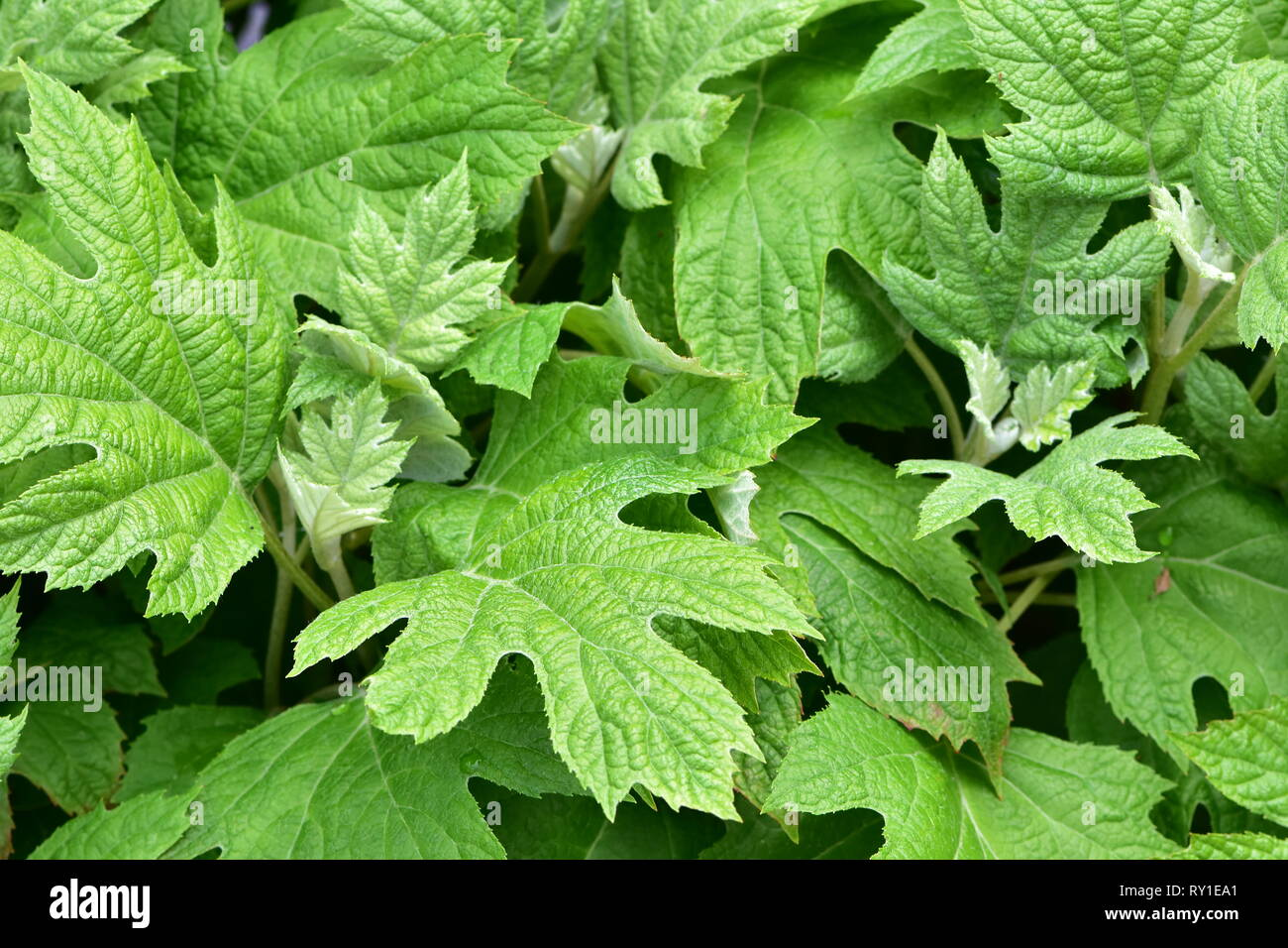 Dense leaves pattern with surface structure and simple palmate venation with brochidodromous second‐order veins. - Stock Image