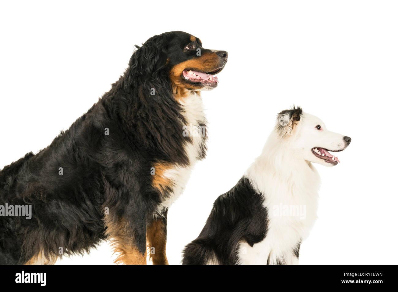 Berner Sennen Mountain And Australian Shepherd Dog Standing