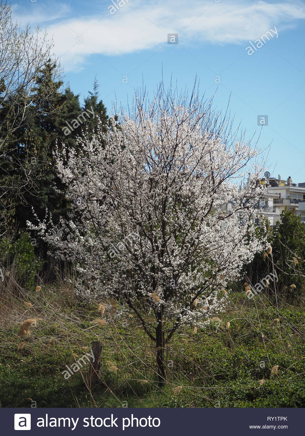 A view of a blooming almond tree with white flowers - Stock Image