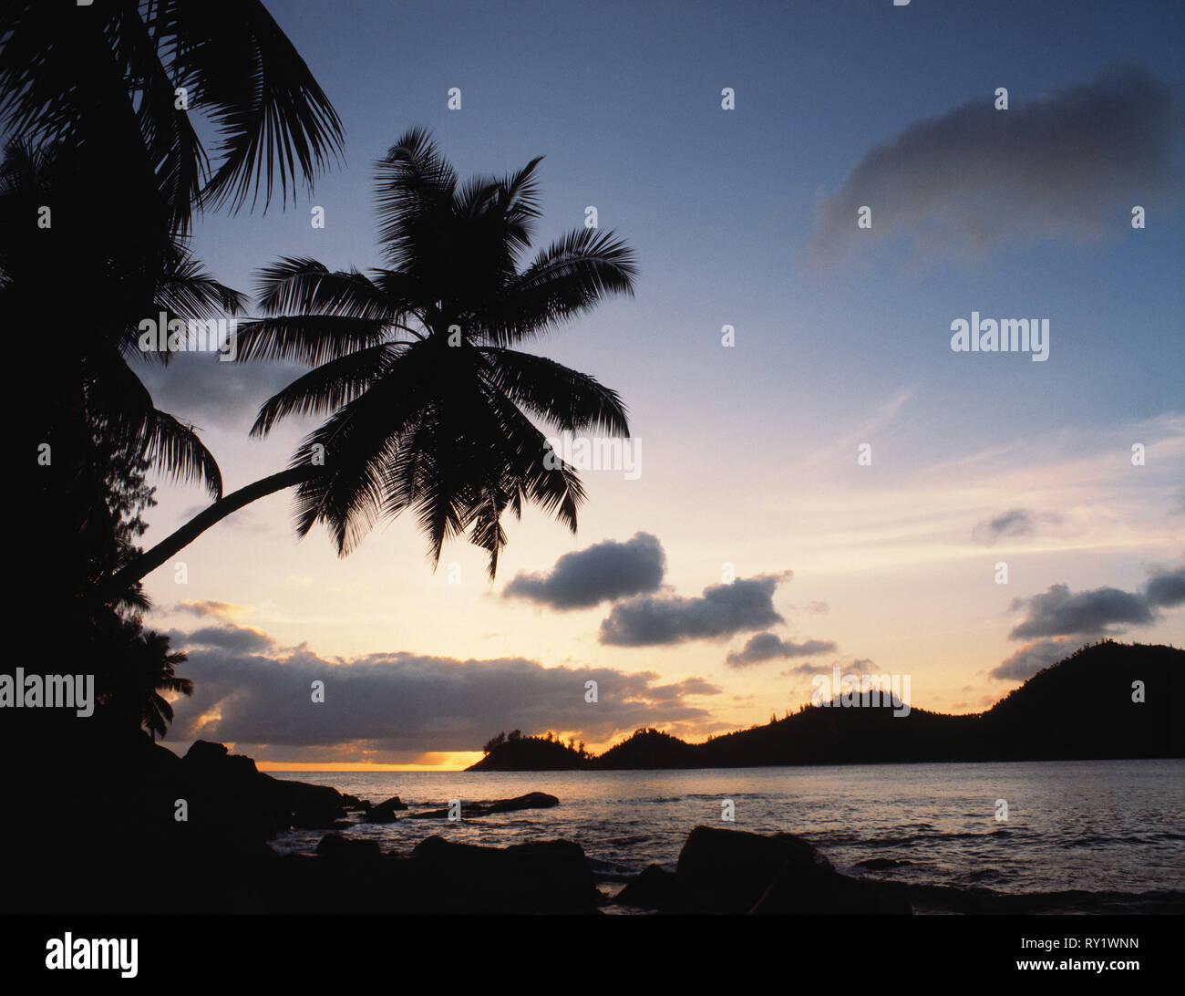 Seychelles. Mahé. Coconut palms. - Stock Image