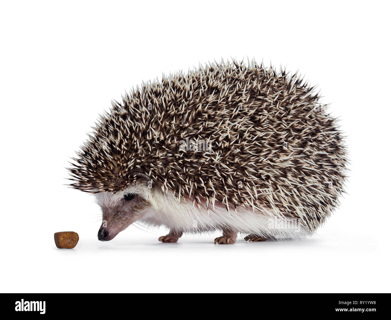 Cute spiky hedgehog walking side ways, looking and sniffing at cat kibble food. Isolated on white background. - Stock Image