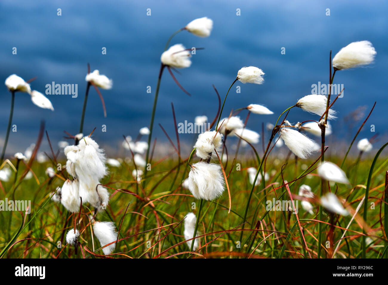 Cotton Grass blowing in the wind against backdrop of ominous dark skies - Stock Image