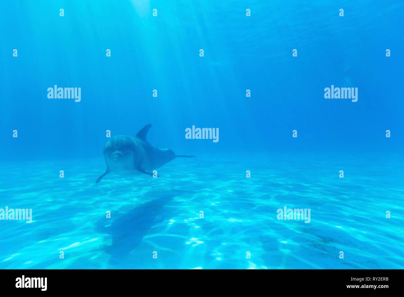 Ein Delfin im Miami Seaqueariuem bei THEMENBILD Florida, 08.02.2017 Bildnachweis: Mario Hommes / HH-Photography - Stock Image