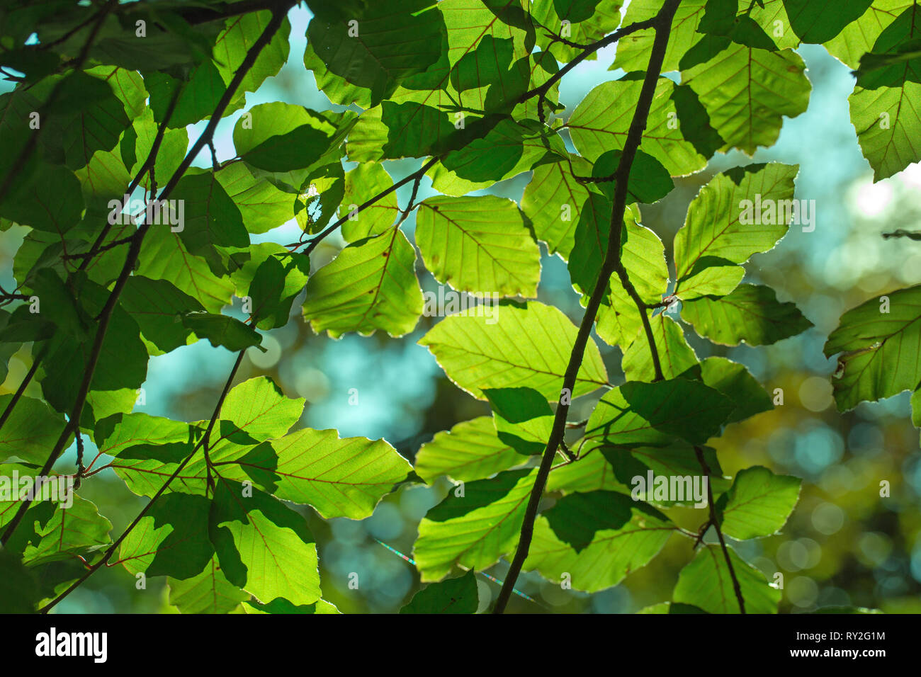 Beech Tree (Fagus sylvatica). leaves. Mosaic of foliage and branches. Looking up, against the sunlight. Contre jour lighting. Showing individual and overlapping leaves. Stock Photo