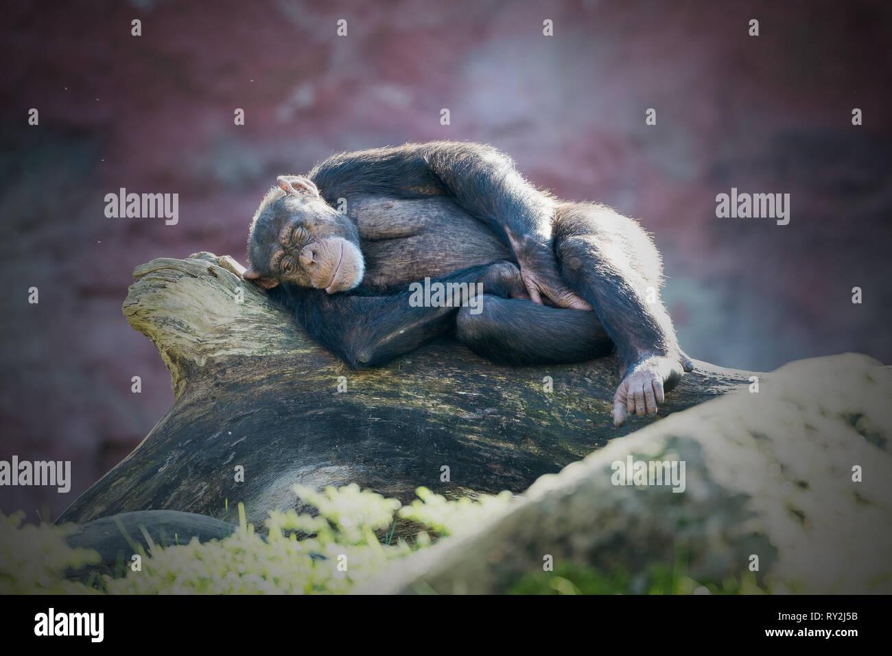 Ein Schimpanse liegt auef einem Bauem uend schlaeft in der ZOOM-Erlebniswelt Gelsenkirchen, 15.10.2017 Bildnachweis: Mario Hommes / HH-Photography - Stock Image