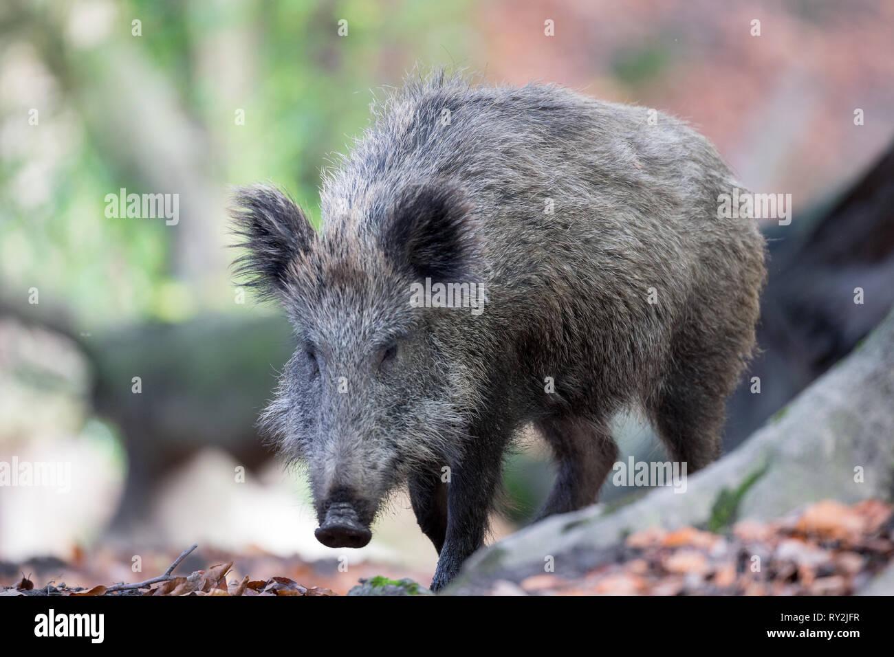 Ein Wildschwein, Wildtiere in Deuetschland, 30.10.2017 Bildnachweis: Mario Hommes / HH-Photography - Stock Image