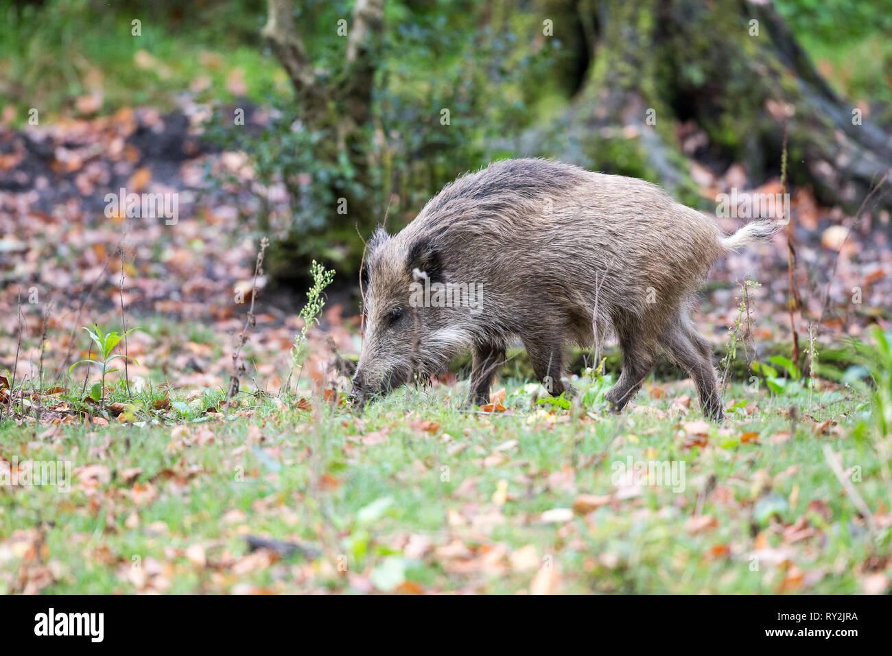 Ein Wildschwein im Wald, Wildtiere in Deuetschland, 30.10.2017 Bildnachweis: Mario Hommes / HH-Photography - Stock Image