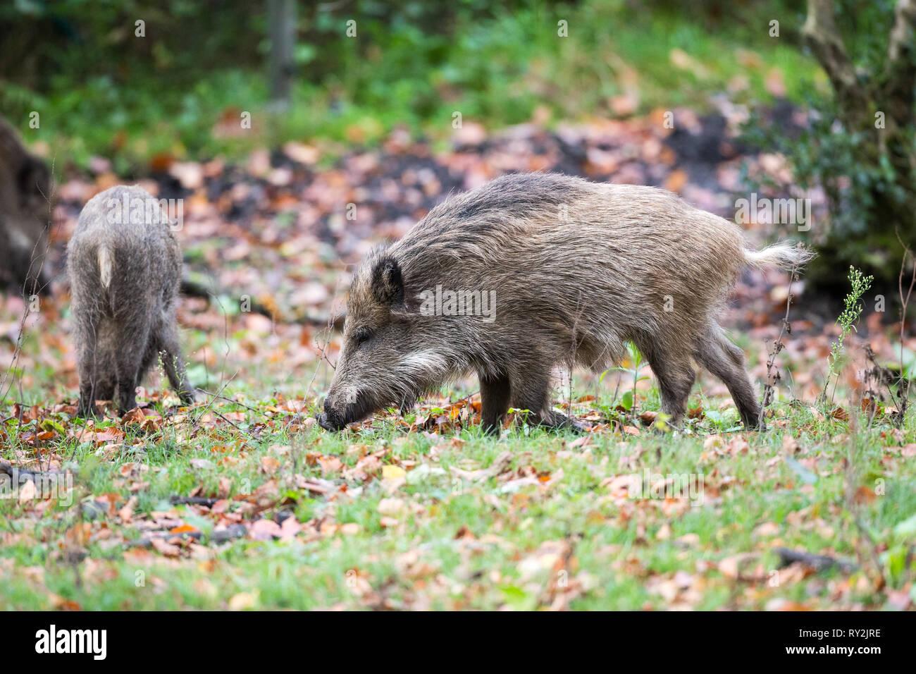 Wildschweine im Wald, Wildtiere in Deuetschland, 30.10.2017 Bildnachweis: Mario Hommes / HH-Photography - Stock Image