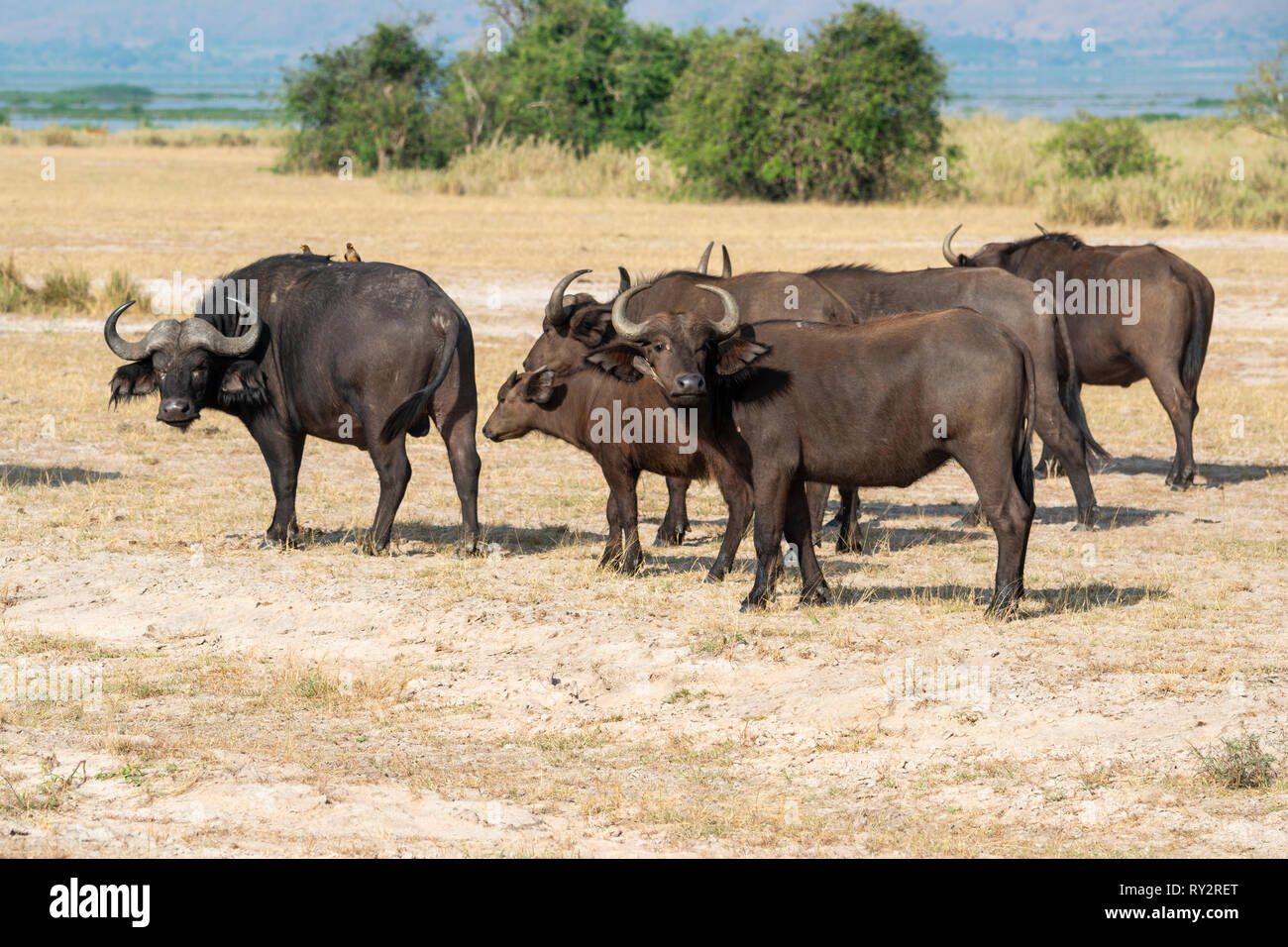 Group of African buffalo (syncerus caffer) on the move in Murchison Falls National Park, Northern Uganda, East Africa - Stock Image