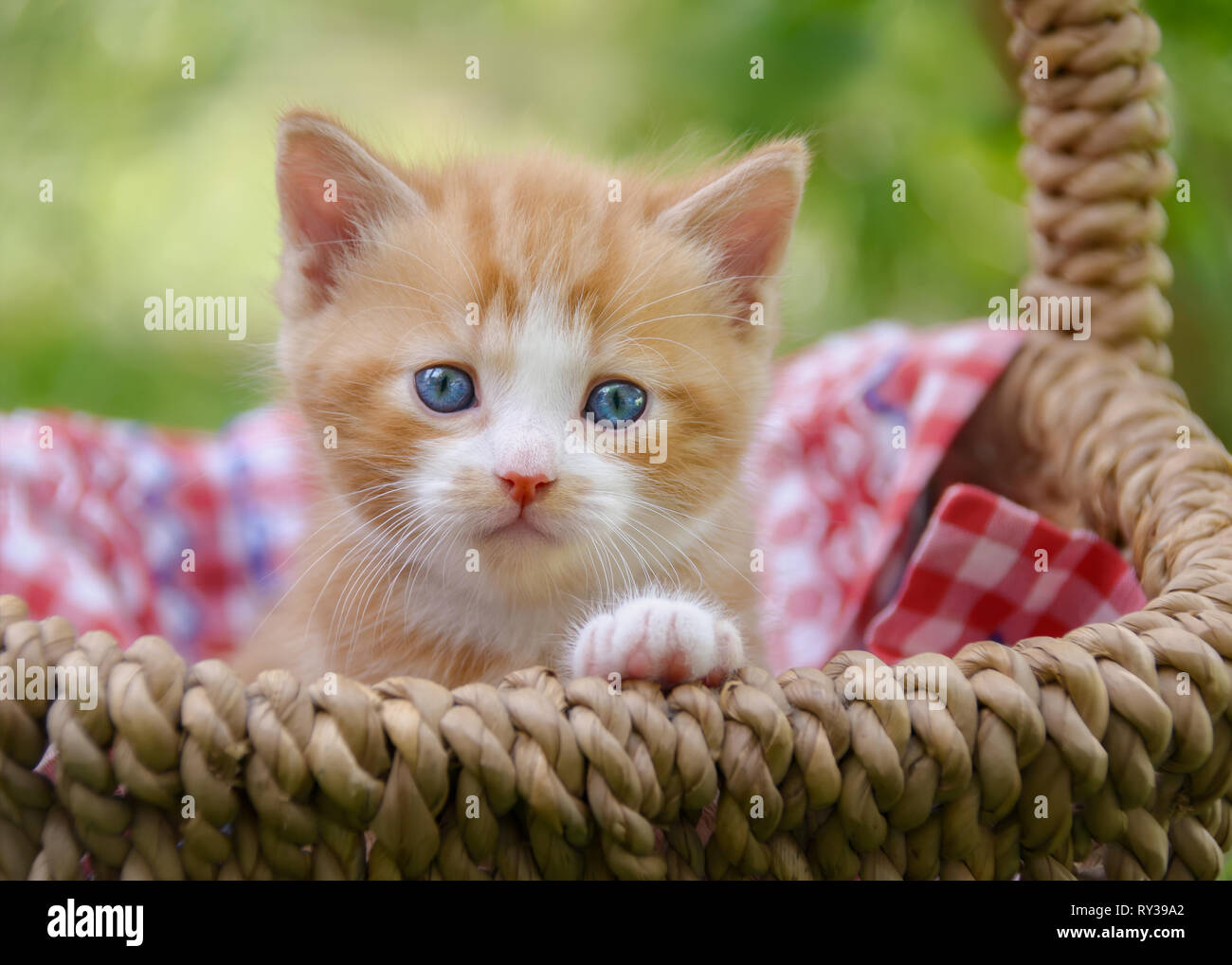 Cute Red Tabby White Baby Cat Kitten With Beautiful Blue Eyes Sitting In A Wicker Basket In A Garden And Watching Curiously Stock Photo Alamy