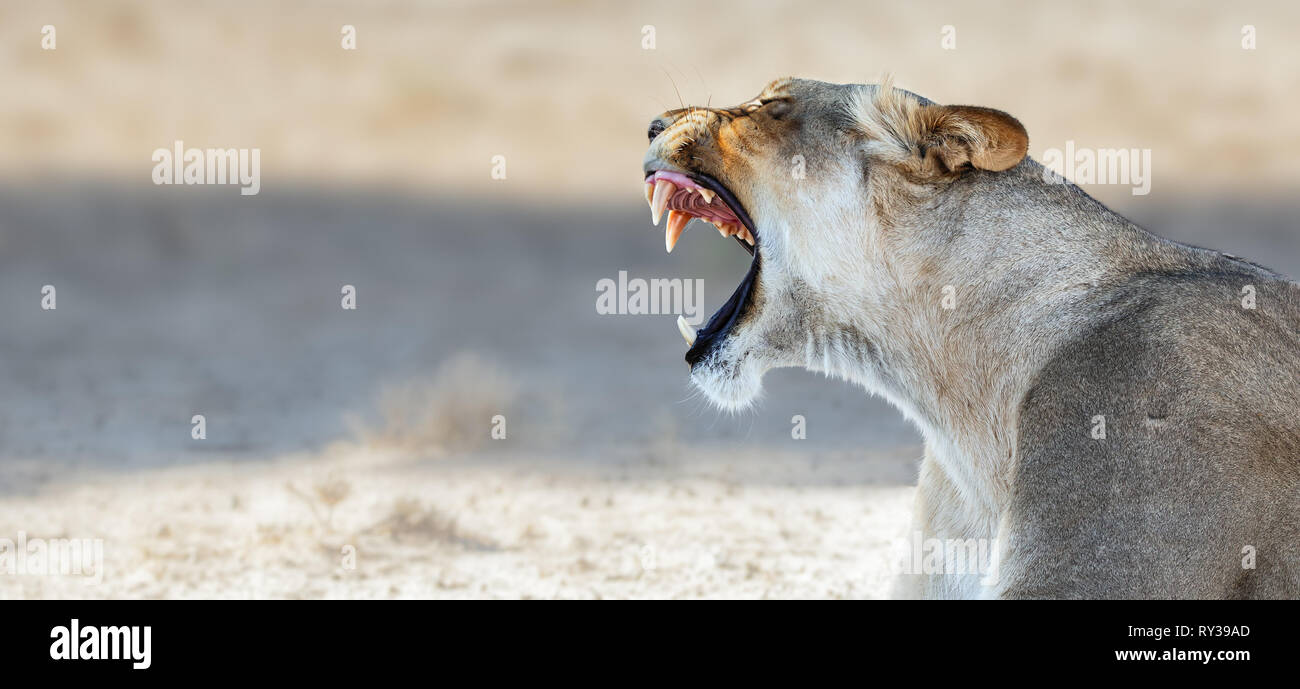 Lioness yawning and showing teeth while resting in the Kgalagadi Transfrontier Park. Panthera leo - Stock Image