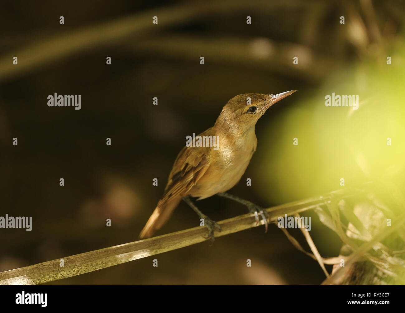 Tuamotu Reed Warbler - Stock Image