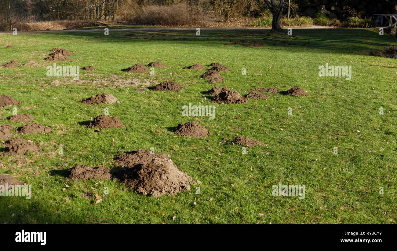 Maulwurf Hügel, Maulwurfhügel, auf einer Wiese, am Waldrand im Frühjahr - Stock Image