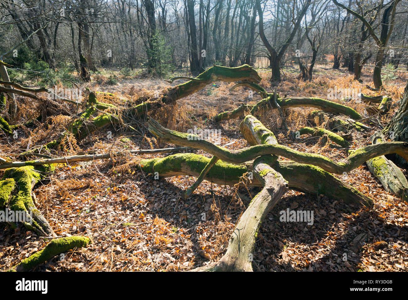 Primeval forest Urwald Sababurg, Hofgeismar, Weser Uplands, Weserbergland, Hesse, Germany - Stock Image
