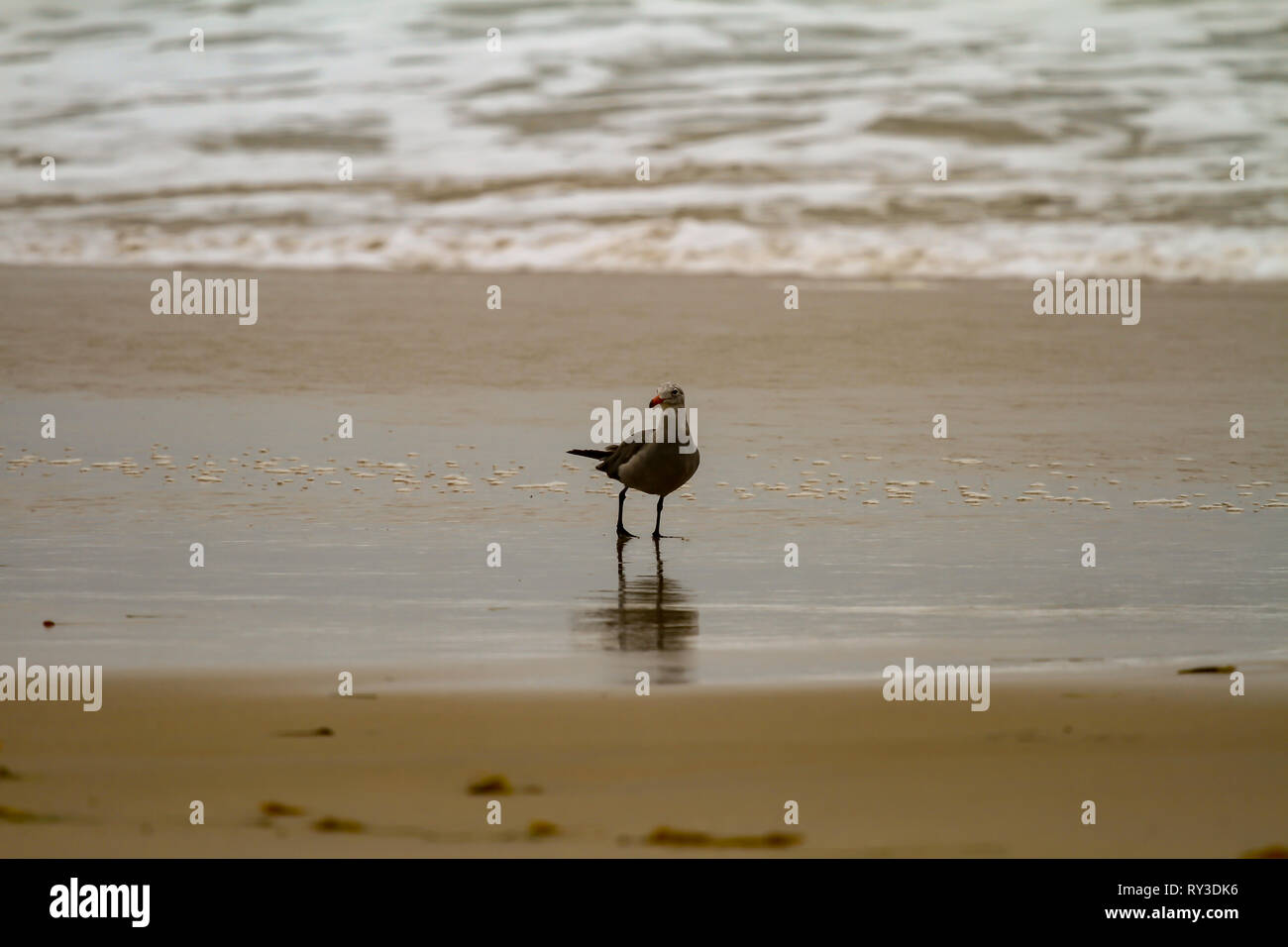Seagull foraging in shallow water on a sandy beach with gentle surf casting a reflection on the wet sand - Stock Image