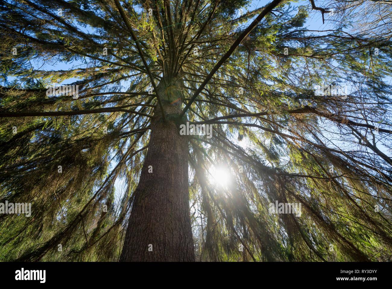 Spruce, Primeval forest Urwald Sababurg, Hofgeismar, Weser Uplands, Weserbergland, Hesse, Germany - Stock Image