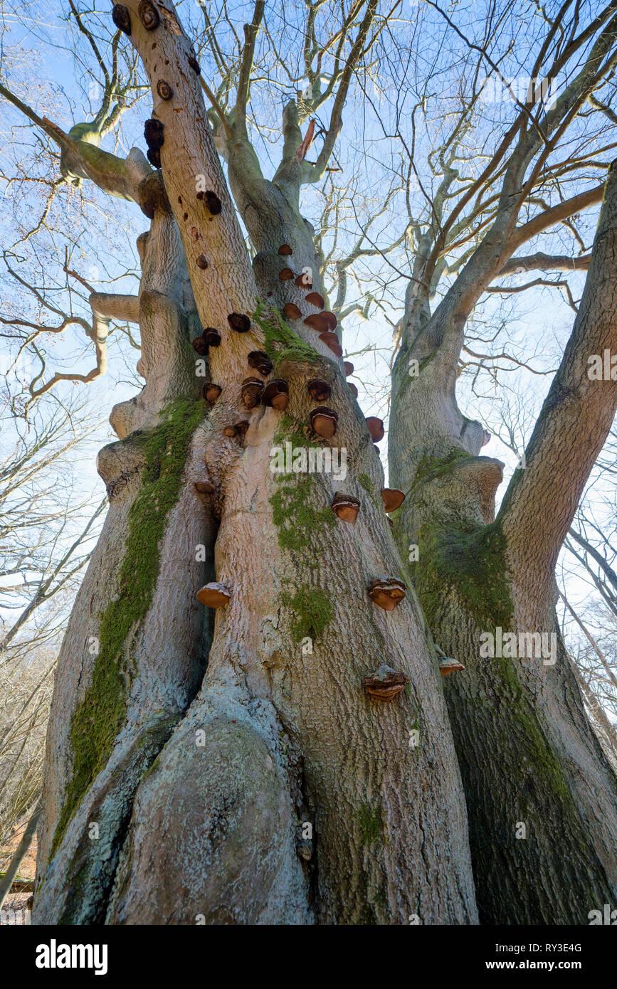 Tinder fungus, Primeval forest Urwald Sababurg, Hofgeismar, Weser Uplands, Weserbergland, Hesse, Germany - Stock Image