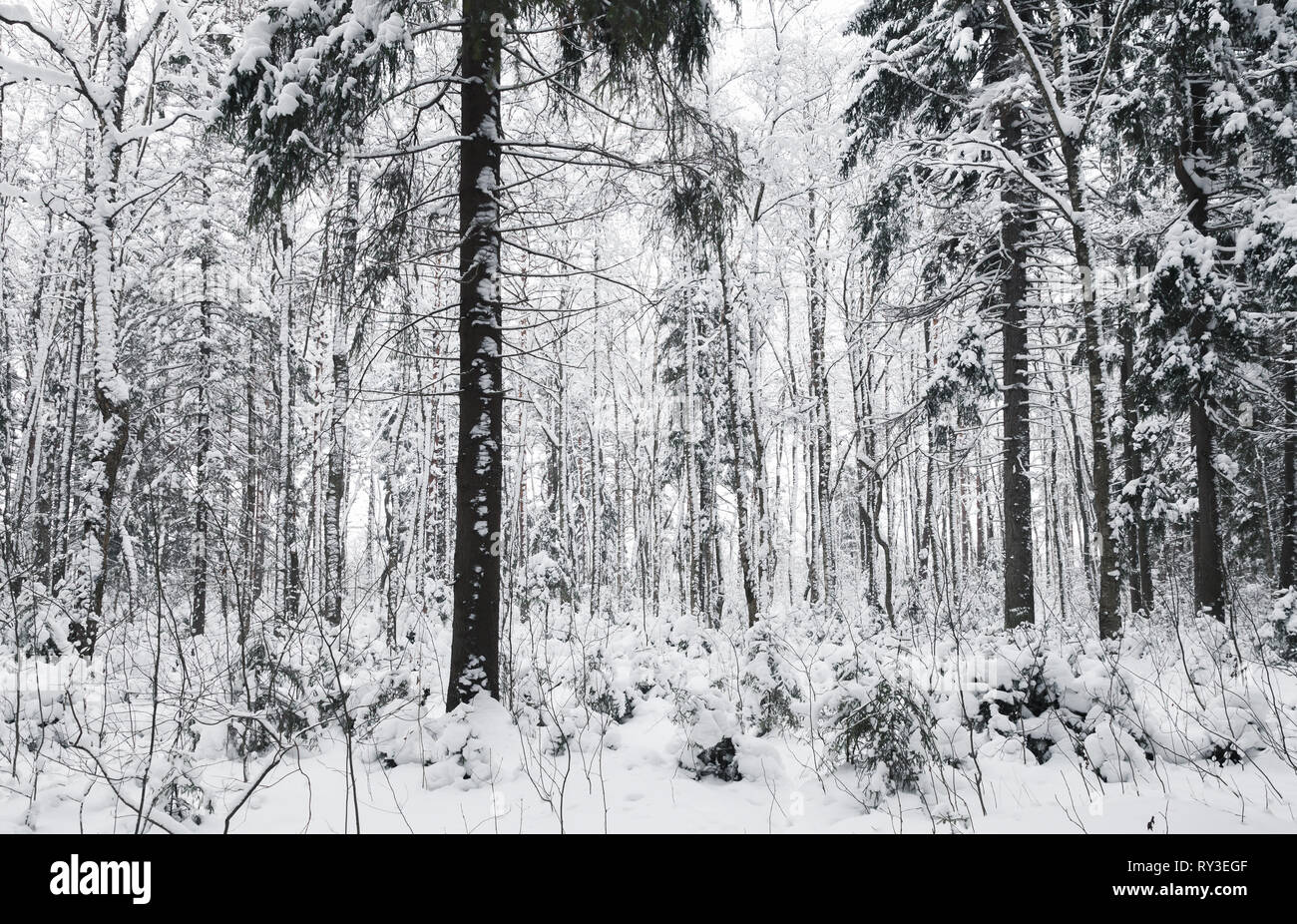 Snowy spruces in European forest, winter landscape. Background photo - Stock Image