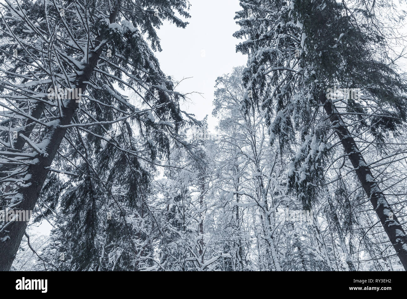 Snowy spruces. European forest in winter, background photo - Stock Image